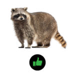 Camect detects Raccoons